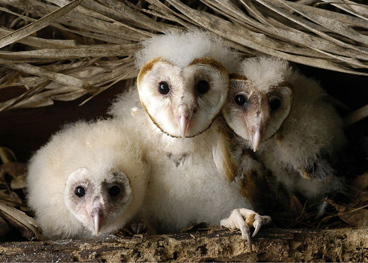 Barn Owl Chicks, Brazil.    Photographer: Nunes D'Acosta  All images subject to © Copyright