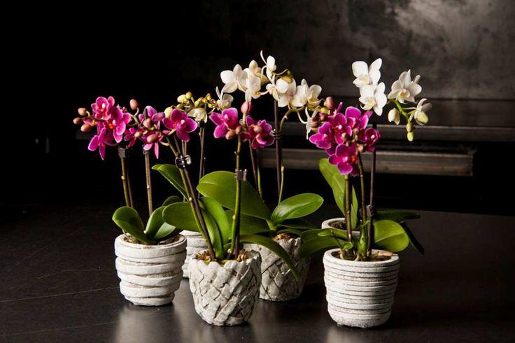 Phalaenopsis VG Specials