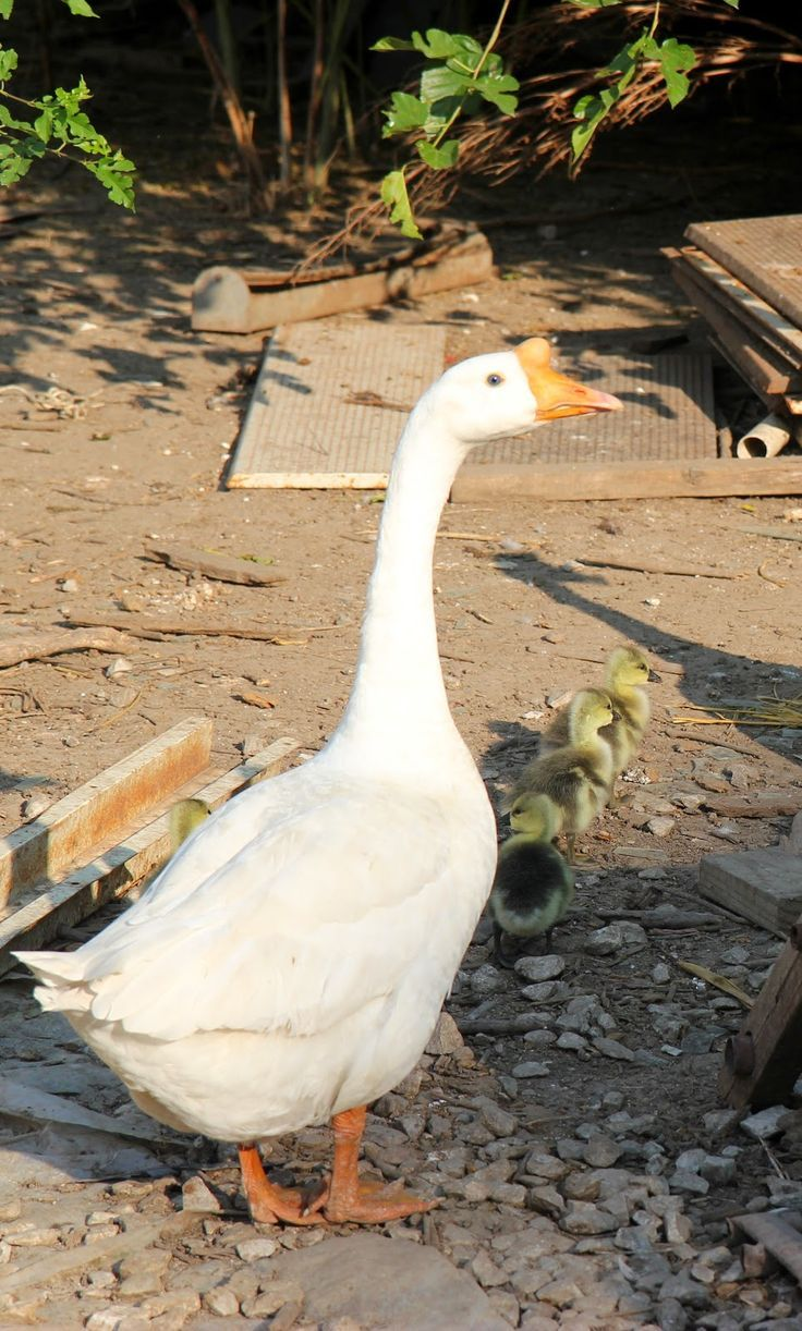5 Things You Should Know About Raising Geese    First ..don't eat  them !