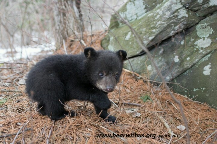 1000 Images About Black Bears On Pinterest
