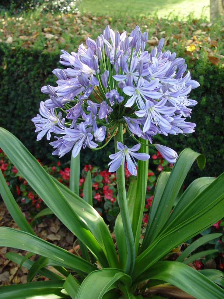 agapanthus, love them, think some pots would look great at le Baste