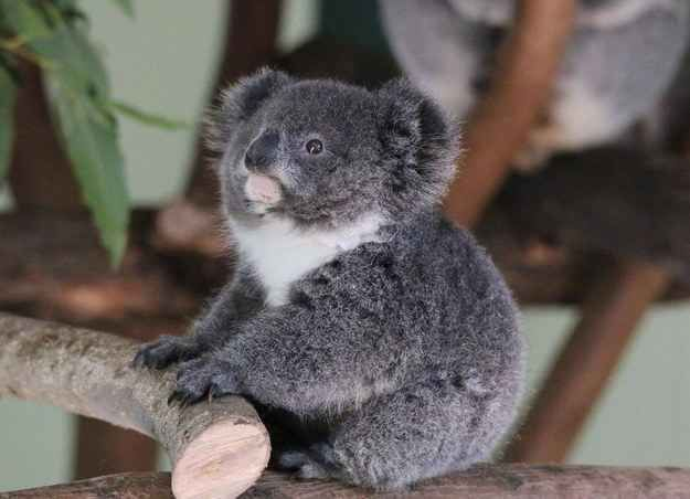 Stop Everything And Look At This Tiny BabyKoala  HIS NAME IS ARCHER AND HE'S TINY AND ROUND.
