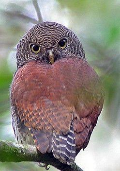 Chestnut Backed Owlet