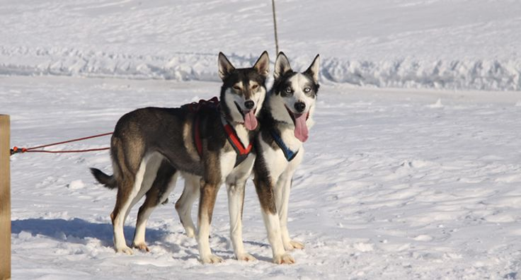 Husky Dogs in Finland:  http://www.kontikifinland.com/holidays/destination/1194883/nellim/husky-tour-lapland-guided-expedition