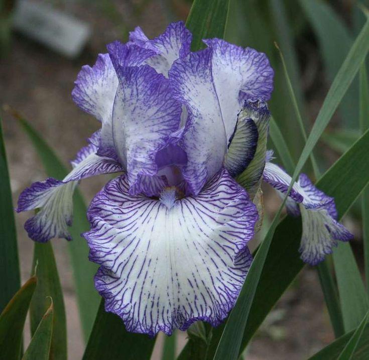 Tall bearded iris 39 autumn circus 39 iris germanica iris - Iris germanica ...