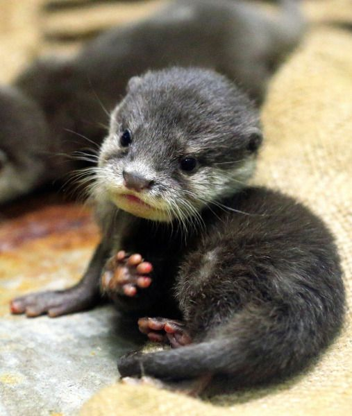 The smallest of all the otter species, the Asian Small-Clawed Otter weighs less than 50 grams at birth. They're also born toothless, blind and nearly immobile, making them completely dependent on their mothers.