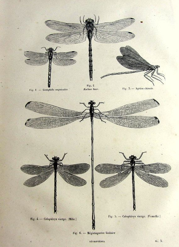 Antique dragonflies print, original 1860 odonata dragonfly french engraving, insect plate illustration, vintage damselflies for frame.