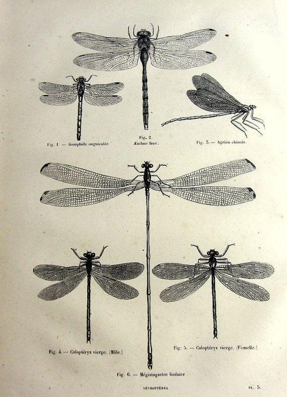 Imprimer des libellules antiques, original 1860                                                                                                                                                                                 Plus
