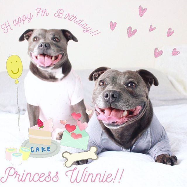 Everybody STOP what you're going and firstly LOOK at Winnie!! 😍 she is MY girlfriend and it's her 7th birthday today!! @winniethebluestaffy Secondly go and wish her a very happy birthday on her page! She spreads so much love for our entire Instagram community every day and now it's our turn to make her feel special ❤️❤️ You're looking more beautiful every day, like a good soft toy you only get better with age 😉😉 Love your main man Philly 😘😘😘