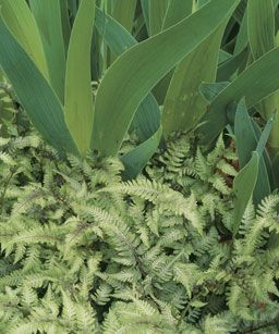 ferns in the garden: Beards Iris, Plants Combinations, Bearded Iris
