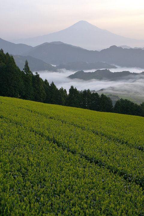Mt.Fuji and tea plantation, Japan