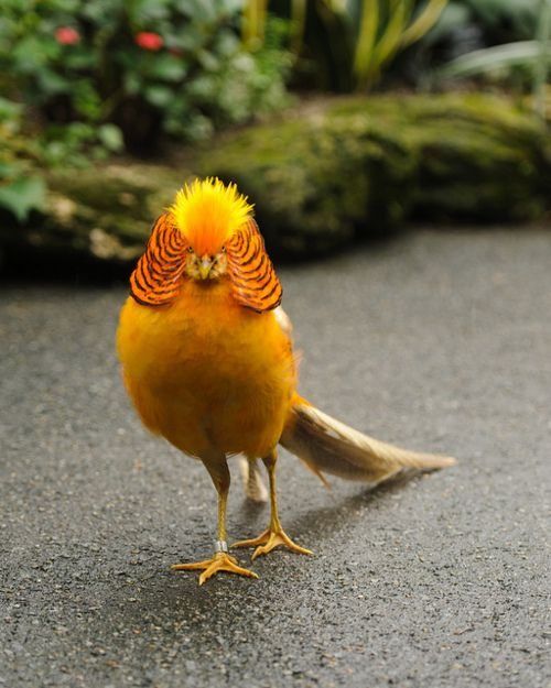 Golden pheasant.  Looks like he has on a lawyers wig