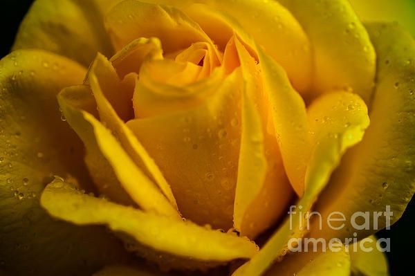 Yellow Queen of the Garden. Yellow Rose by Jenny Rainbow. #Rose #YellowRose #Yellow #Flower #Floral #FineArtPrints