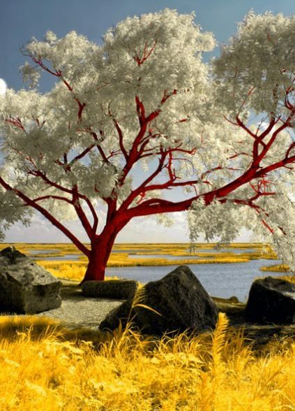 Red Beach Tree