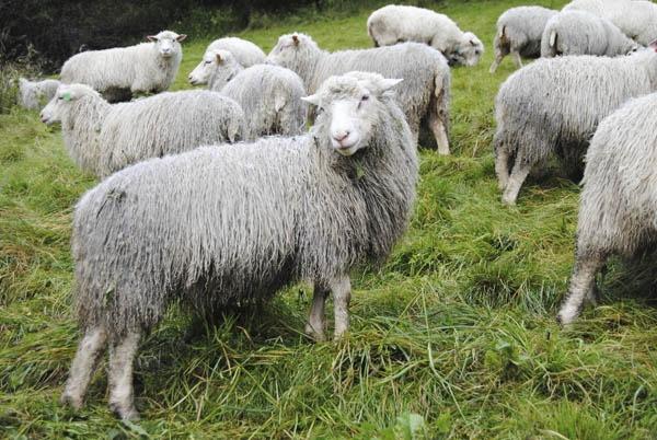Økologiske sauer går ute året rundt! De liker vær og vind og elsker friskt grønnt grass!