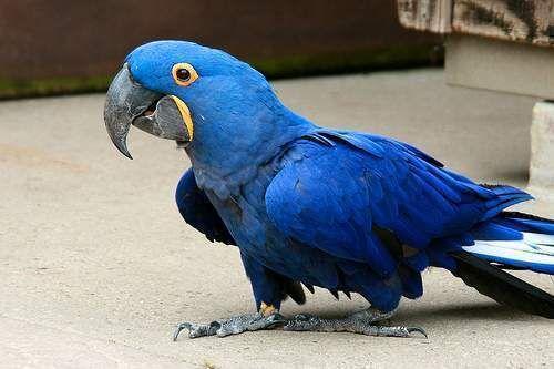 Hyacinth macaw (Anodorhynchus hyacinthinus), or hyacinthine macaw, South America. Гиацинтовый ара - один из самых крупных видов попугаев. Некоторые особи достигают в длину 80-98 см, причём около половины приходится на хвост, длина крыла 36,5 см; вес 1,5 кг. Окраска оперения кобальтово-синяя. С боков голова закрыта оперением, только тонкая полоска у основания подклювья и узкое кольцо вокруг глаз неоперённые, золотисто-жёлтого цвета. Хвост серо-синий, длинный и узкий.