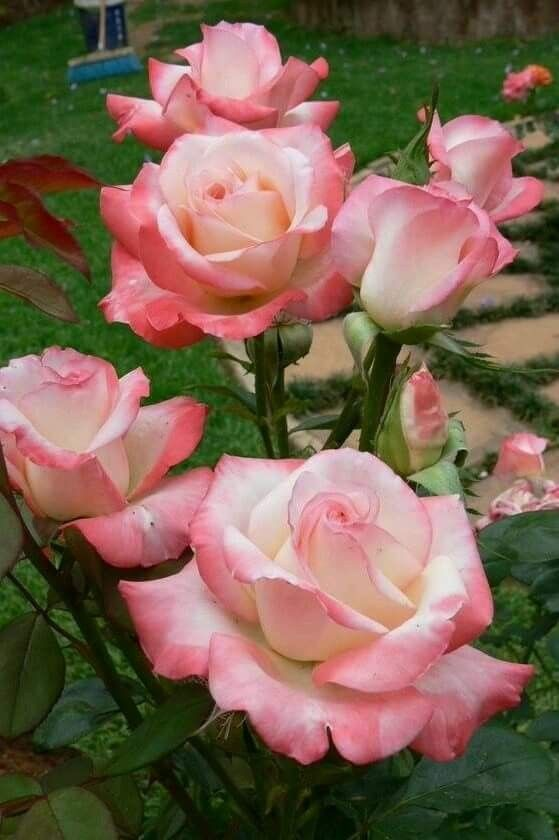 4010 best Roses images on Pinterest | Beautiful flowers, Pretty ...