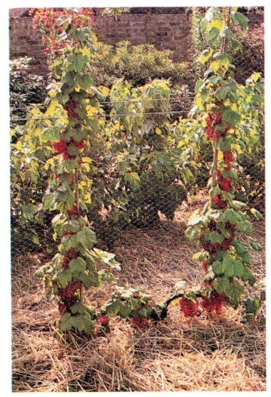 red currants, double cordon system
