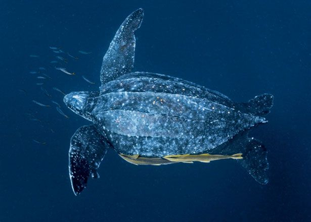 """An average adult leatherback, at 800 lbs with a wingspan of perhaps 8 ft., is a hard-to-believe turtle.""~Voyage of the Turtle"