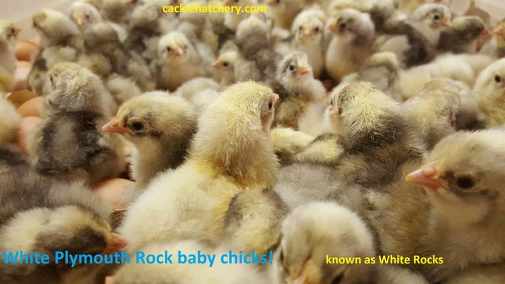 White Plymouth Rock Chicken - Baby Chicks for Sale | Cackle Hatchery