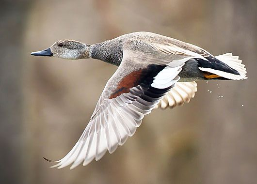 Gadwall duck (Anas strepera) Distribution: northern areas of Europe and Asia, and central North America.