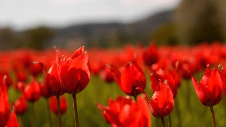 Μέρη σαν βγαλμένα από παραμύθι αλλά ευτυχώς τόσο αληθινά..... #Chios #Tulips #lalades