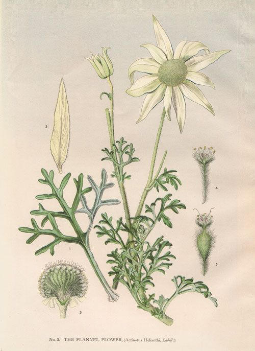 Actinotus helianthi Flannel Flower  family APIACEAE    artist: Edward Minchen (1862-1913)      from: 'The Flowering Plants and Ferns of N...