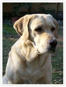 The poor dog, in life the firmest friend,  The first to welcome, foremost to defend. - Lord Byron http://www.annabelchaffer.com/products/Golden%2C-Yellow-Labrador-Dog-Cushions.html Labrador I want a Labrador.