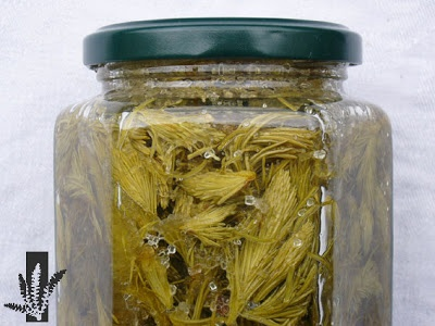 Miel de bourgeons de sapin