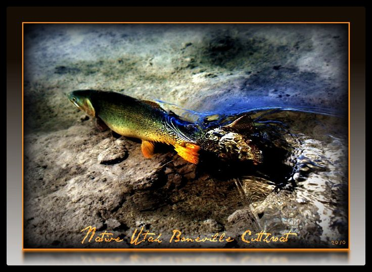 133 best freshwater fish images on pinterest fishing for Fly fishing apps