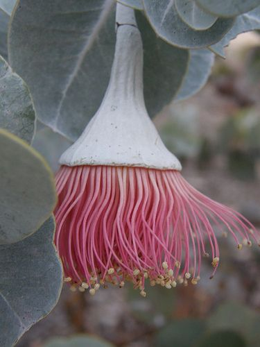 What an interesting flower - looks like an upside down sea anemone! ✯ Pink and Silver Eucalyptus Rhodantha