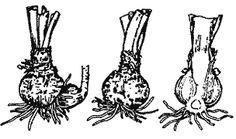 Multiplicacion, reproducción de plantas bulbosas, bulbos