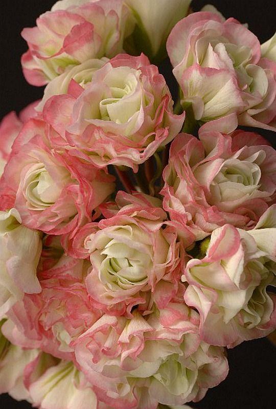 Apple Blossom Rosebud Geranium I need these for my garden