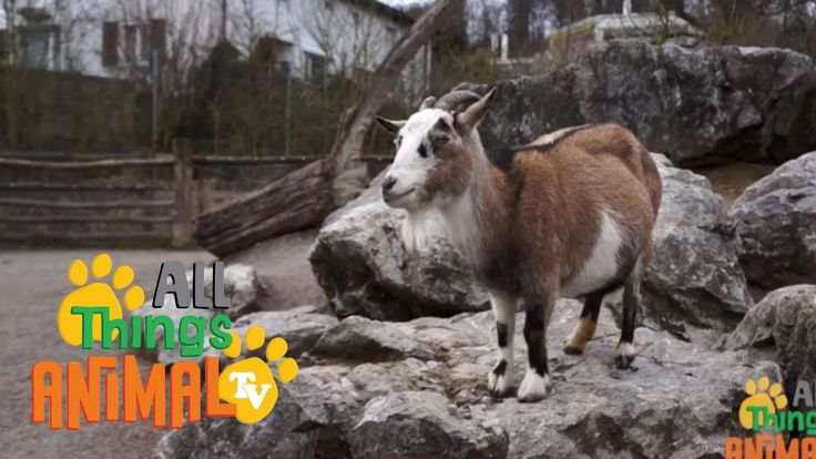 GOATS: Animal Videos for children| kids| toddlers. Preschool & Kindergar...
