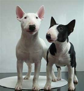 The difference between an English Bull Terrier and an American Bull Terrier is simply which continent they are born on.