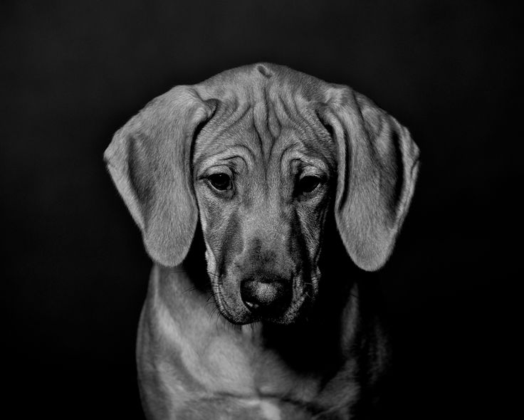 Photographer Pernille Westh   Rhodesian Ridgeback pup in black & white. Do you like to photograph dogs? Get my 5 FREE photography tips when photographing dogs; http://pw5383.wixsite.com/photographytipsdogs