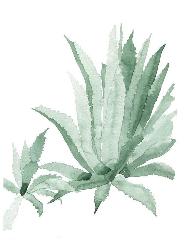 how to eat agave plant