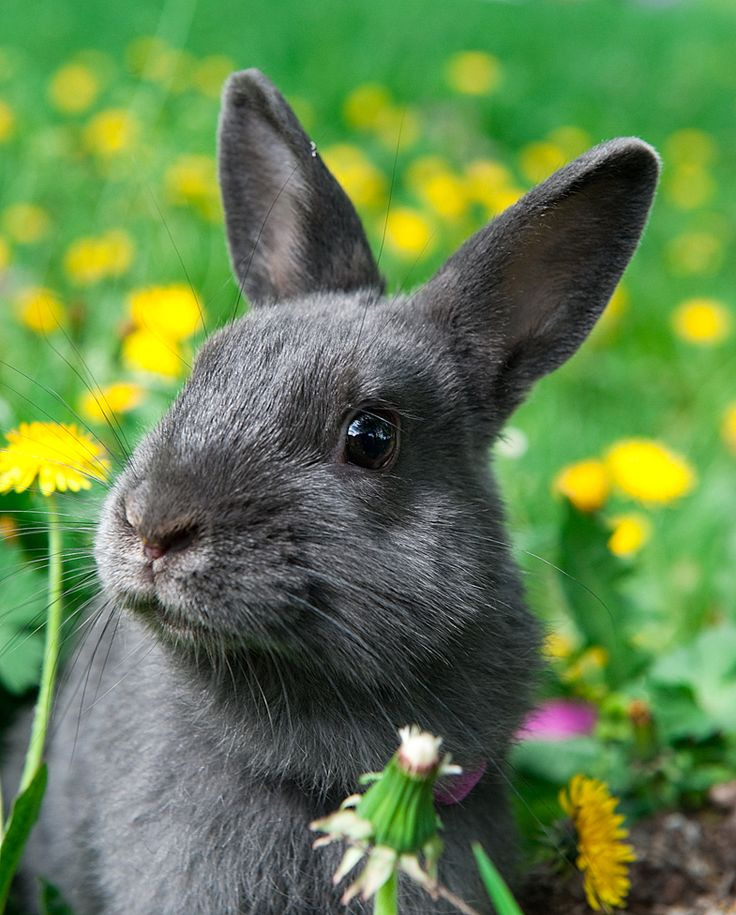 Bogyó :)  bunny, rabbit, dwarf