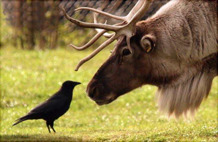 Neighborhood chat: raven and elk.