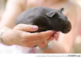 shaved guinea pig - looks like a miniature hippo!!!