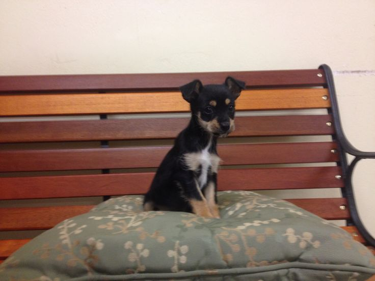 ZOE is a Sweetheart terrier girl who looks like a min pin.  She is just two months old looking for a home now!  She is already spayed, up to date on her shots and microchipped.