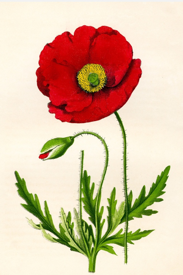 vintage Papaver Rhoeas print by Print Collection
