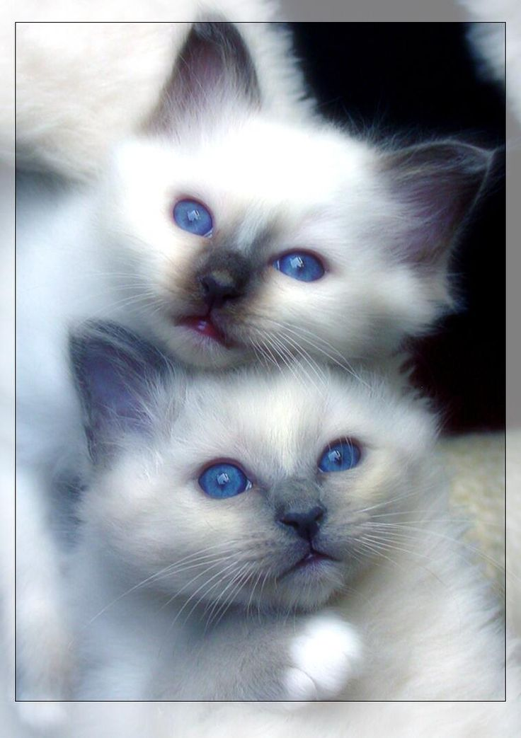 Siamese cats are my absolute favorite...