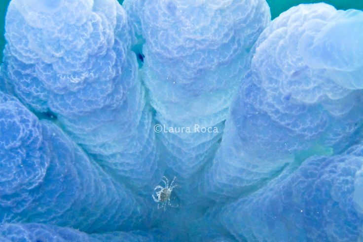 guarda -> http://www.imascubadiver.com/it/236-Blog/38-post-Le%20meduse:%20antichi%20e%20straordinari%20animali%20facenti%20parte%20del%20plancton.html #biologiamarina #subacquea #mare #meduse #scubadiving #fotosub #fotografiasubacquea #laura #imascubadiver