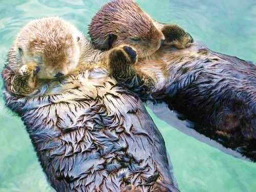Sea otters hold hands when they sleep to avoid drifting apart. All together now: Awwwwwwwww!!: Animals, Hold Hands, Sweet, Otters Hold, Seaotter, Don T Drift, Sea Otters, Holding Hands