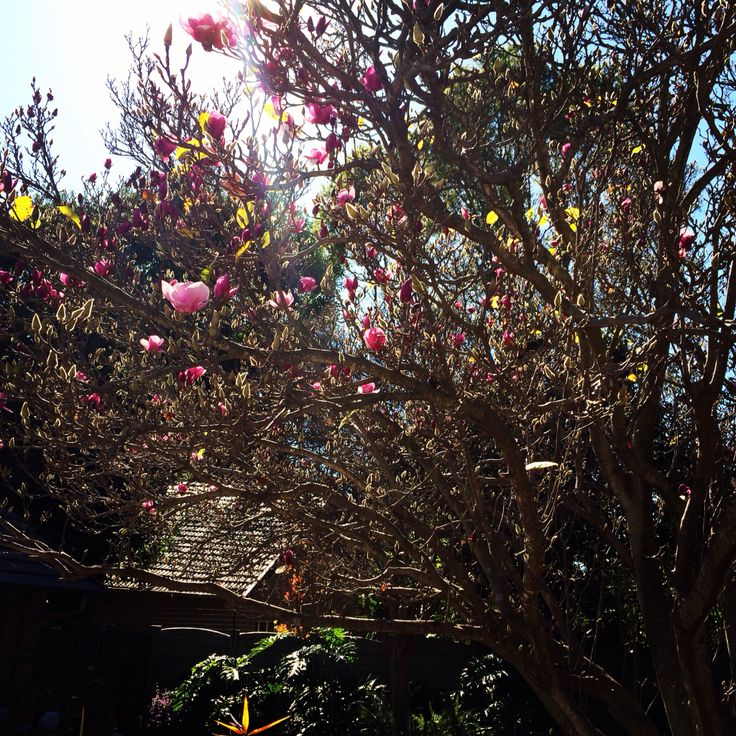 Magnolia Tree in Our Garden
