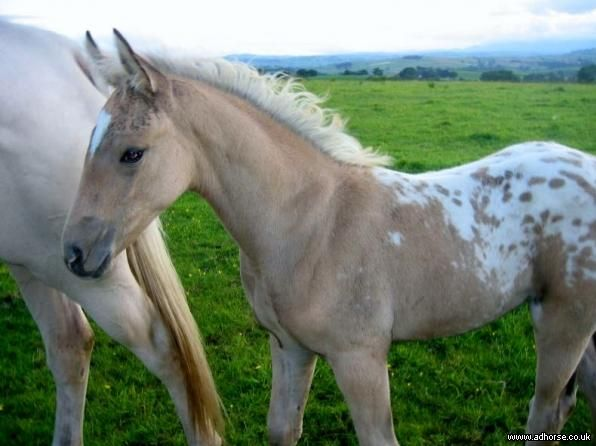 Appaloosa foal. Lovely color and blanket! Oh My! Dream Horse! Appy cross with blanket, especially as beautiful as this!
