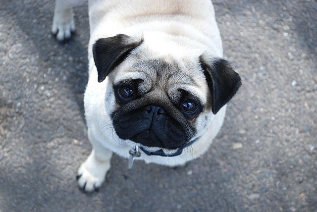 Pug Breed Information   Doggie Matchmaker