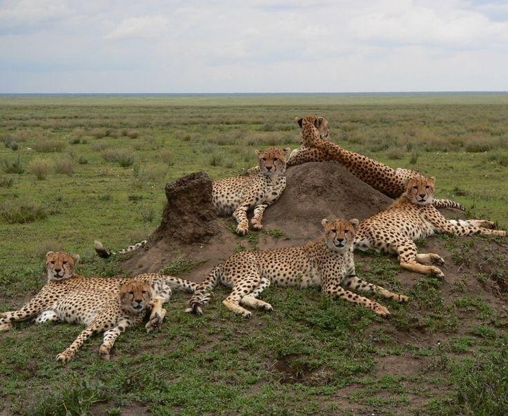 A coalition of Cheetahs at Sanctuary Kusini Camp   Serengeti