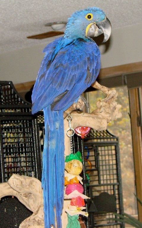 """Now I want to watch """"Rio"""" lol. Love the Hyacinth Macaws. Just can't afford one!"""